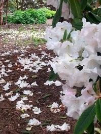 Rhododendron 'Yakushimanum'