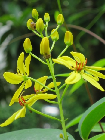 Tristellateia australasiae 'Golden Rod'