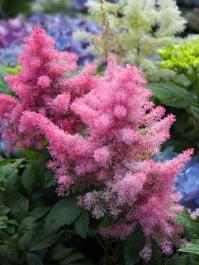 Astilbe cv. False Spirea (Pink)