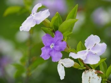 Branfelsia calycina 'Yesterday-Today-Tomorrow'