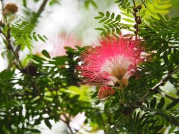Calliandra surinamensis 'Pink Powerpuff'