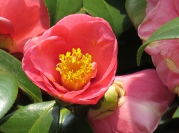 Camellia japonica 'Pink Camellia'