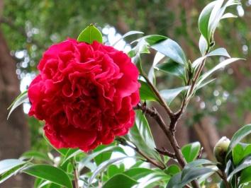 Camellia japonica 'Professor Sargent'