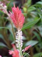 Celosia argentea var. plumosa (Cockscombs)