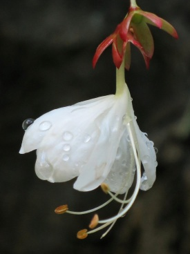 Clerodendrum wallichii (Bridal Veil)