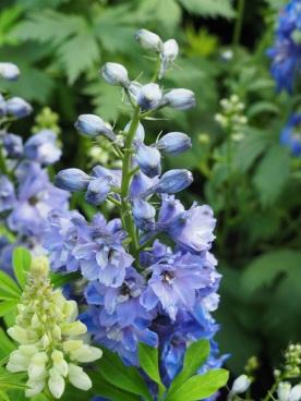 Delphinium (Larkspur, Blue)