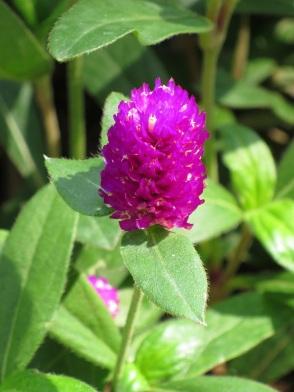 Gomphrena globosa 'Globe Amaranth'