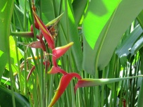 Heliconia latispatha 'Red-Yellow Gyro'