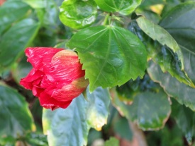 Hibiscus rosa-sinensis 'China Rose' (Red Cultivars)