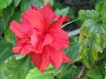 Hibiscus rosa-sinensis 'China Rose' (Red Cultivars)