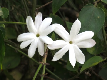 Jasminum multiflorum 'Star Jasmine'