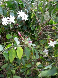 Jasminum multiflorum 'Star Jasmine'