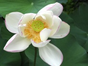 Nelumbo nucifera (Lotus)
