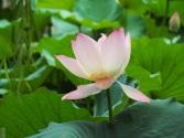 Nelumbo nucifera (Lotus)