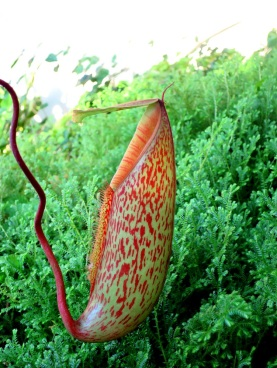 Nepenthes 'Pitcher Plant'