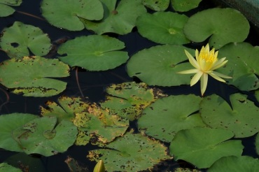 Nymphaea spp. (Water Lily, Yellow)