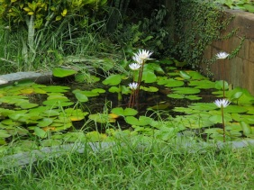 Nymphaea spp. (Water Lily, White)
