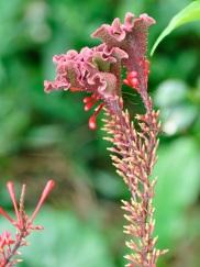 Odontonema cuspidatum (Firestick)