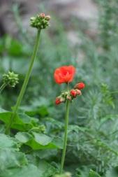 Pelargonium hortorum (Garden Geranium)