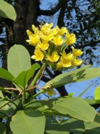 Plumeria rubra (Yellow)