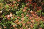Rhododendron 'Silver Slipper'