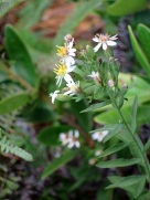 Aster baccharoides