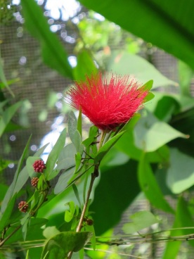 Calliandra tergemina var. emarginata 'Power Puff'