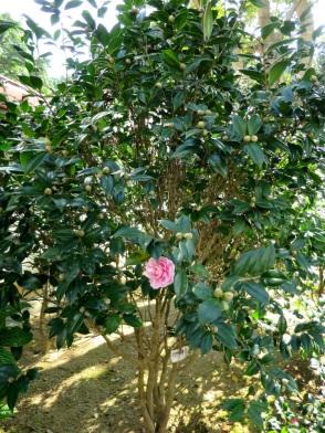 Camellia japonica 'Yaniangfengguan Camellia'