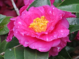 Camellia sasanqua (ShiShi Gashira)