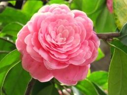 Camellia sasanqua 'Pink Perfection'
