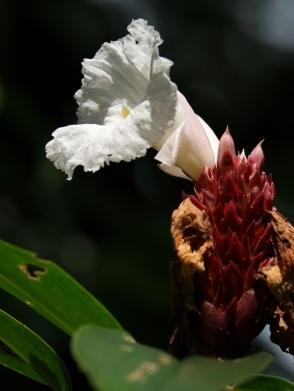 Cheilocostus speciosus 'Crepe Ginger'