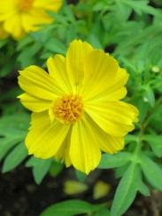 Cosmos sulphureus var. 'Yellow Cosmos'