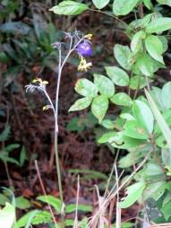 Dianella ensifolia (L.) DC