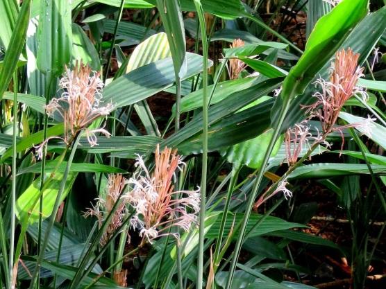 Dracaena thalioides