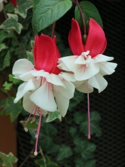 Fuchsia hybrid 'Windmill'