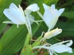 Hedychium coronarium 'Ginger Lily'