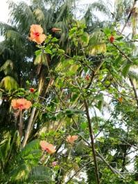 Hibiscus rosa-sinensis (Orange)