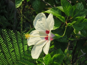Hibiscus rosa-sinensis (White Wings)