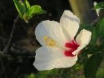 Hibiscus rosa-sinensis (White Wings)