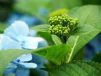 Hydrangea macrophylla (Blue)