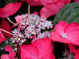 Hydrangea macrophylla (Red)