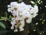 Lagerstroemia indica var. alba