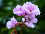 Lagerstroemia speciosa 'Pride-of-India'