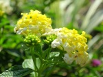 Lantana camara 'Chapel Hill Yellow'