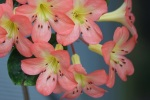 Rhododendron 'Kisses'
