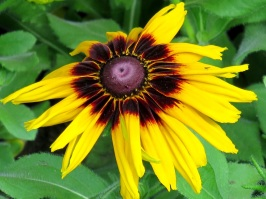 Rudbeckia sp. 'Black-eyed Susan'