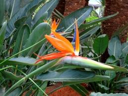 Strelitzia reginae 'Bird of Paradise'