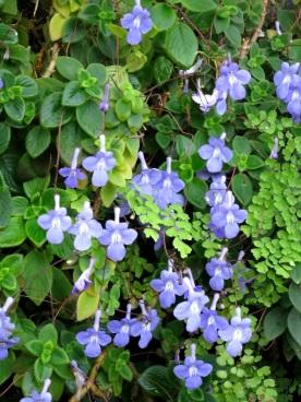 Streptocarpus spp. (Cape Primrose)