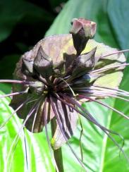 Tacca integrifolia 'Black Lily'