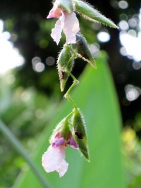 Thalia geniculata 'Water Canna'